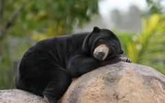 wallpapers Malayan Sun Bears bear lazy bear