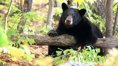 Get Bear Landscapes