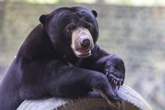 Desktop Wallpapers Grizzly Malayan bear animal Staring