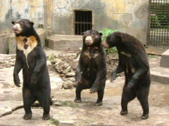 Why Sun Bears are Weird