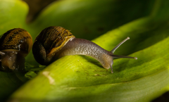 Brown garden snails on green leaf HD wallpapers