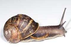 Garden Snail Shell image