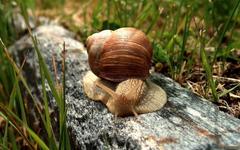 Brown garden snail on gray log HD wallpapers