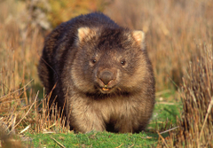 Best 40 Wombat Backgrounds on HipWallpapers