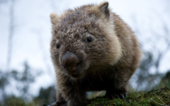 Interesting Wombat HDQ Image Collection HDQ Cover Wallpapers