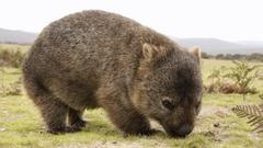 Desktop Wallpapers Wombat
