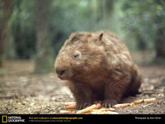 Wombat Desktop and Mobile Wallpapers