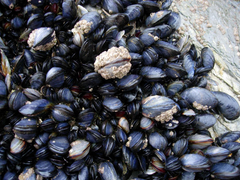 Mussels wallpapers Food HQ Mussels pictures