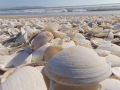 Pile of Beige Seashells Near Seashore Stock Photo