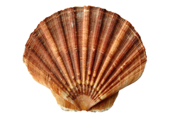 stock photo of animals clams fan