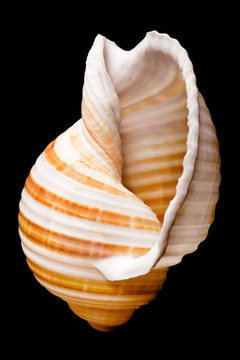 Cockle shell 1080P 2K 4K 5K HD wallpapers
