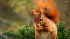Squirrel wallpapers