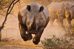 Animal Rhino Wallpapers Angry Pictures