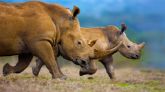Southern white rhinoceros mother and calf wallpapers by T1000
