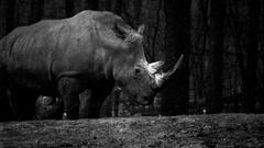 Rhino At The Royal Burgers Zoo UHD 4K Wallpapers