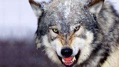 HD Wolf Desktop HD Wallpapers Wallpapers Database