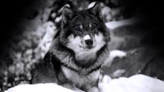 Desktop wolf rats wallpapers