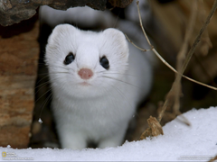 nature snow animals National Geographic weasels