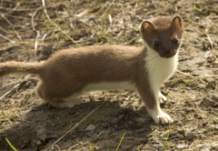 picture weasel short tailed mammal mustela erminea