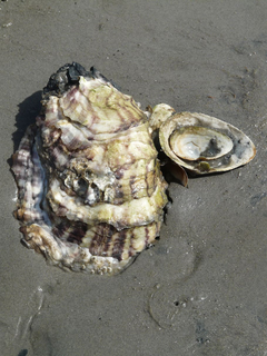 HD wallpaper Pacific Oyster Shell crassostrea pacifica