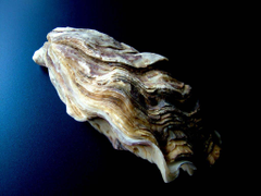 Best 51 Oyster Wallpapers on HipWallpapers