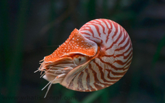 What is a coral Wallpapers 431 Nautilus pompilius