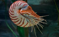 Nautilus Wallpapers