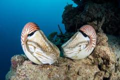 Nautilus Facts Habitat Behavior Diet