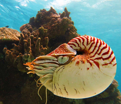 Nautilus is the common name of pelagic marine mollusks of