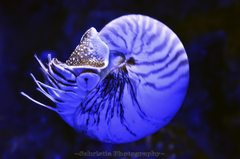Under water photography of blue squid nautilus HD wallpapers