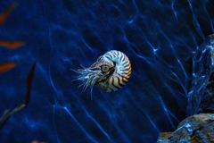 Nautilidae Pictures