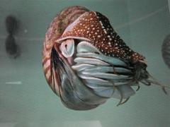 The World s Best Photos of nautilidae and nautilus