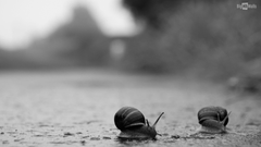 Snails crossing road in the rain HD Wallpapers