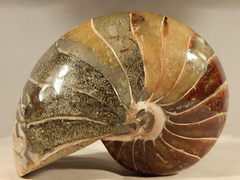 Details about LARGE Nautilus Fossil Nautiloid Fish Mineral
