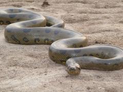 Desktop HD Wallpapers Top 20 Dangerous And Fabulous ANACONDA Snake