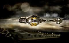 Alligator HD wallpapers