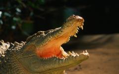 Alligator Wallpapers