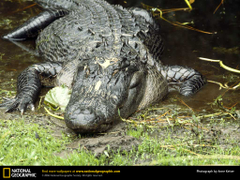 American Alligator Picture American Alligator Desktop Wallpapers