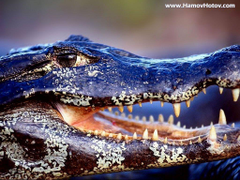 Wallpapers DB alligator wallpapers