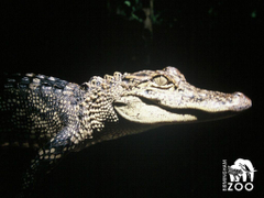 Alligator backgrounds wallpapers
