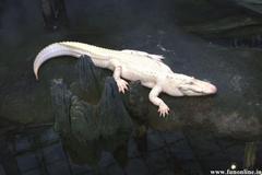 Alligator Wallpapers Underwater Killer Alligators Wallpapers