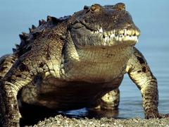 Desktop Wallpapers Gallery Animals Crocodile Alligator