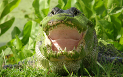 Moss Covered Alligator Picture