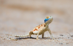 Wallpapers South Africa Ground agama Nossob Kgalagadi
