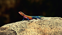 Agama HD Wallpapers