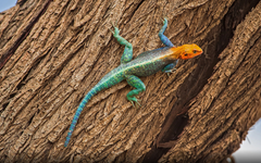 Agama Lizard On Tree In East Africa Lizard With Red Head