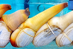 What Is Geoduck How to Prepare Cook Phallic Clam