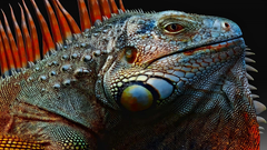Iguana Wallpapers 1