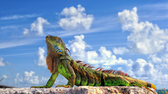 Iguana Wallpapers 3