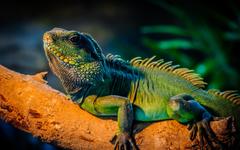 Iguana HD Wallpapers